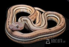 10 Beautiful Reticulated Python Morphs - Reptile World Facts Super Tiger Reticulated Python from Bob Clark Reticulated Python Morphs, Terrarium, Baby Snakes, Cool Snakes, Beautiful Snakes, Pet Snake, Ball Python, Reptiles And Amphibians, Put