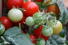 Tomaten im Topf