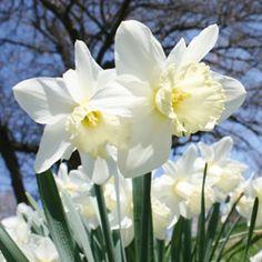 Ice Follies Daffodils Daffodils Planting, Planting Bulbs, Planting Seeds, Tulips, Blue Lotus Flower, Flower Petals, Botanical Prints, Floral Prints, 3 Tier Wedding Cakes