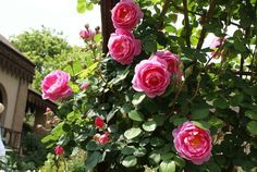 John Clare - Ludwigs Roses | This is a truly prolific, shrub rose. It bears medium sized, informally cupped and half-open carmine-pink flowers with remarkable continuity throughout the long season. The neat bush will grow to a height of 1.5m and has a very luscious appearance. May also be trained over an arch or pergola.