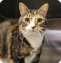 Westampton, NJ - Domestic Shorthair. Meet Luna 32125088, a cat for adoption. http://www.adoptapet.com/pet/16309498-westampton-new-jersey-cat