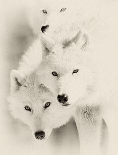 Three gorgeous wolf friends...