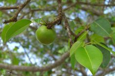 Although it resides on chilled-out, tourist-friendly beaches, the manchineel tree (Hippomane mancinella) seems hell-bent on its vendetta against humanity.