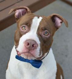 RETURNED 08/12/15 ATTACK PPL --- SAFE 7-23-2015 --- Brooklyn Center TREX – A1042459  MALE, BROWN / WHITE, AM PIT BULL TER MIX, 2 yrs STRAY – STRAY WAIT, NO HOLD Reason STRAY Intake condition UNSPECIFIE Intake Date 07/02/2015 http://nycdogs.urgentpodr.org/trex-a1042459/