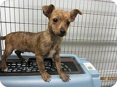 Maumelle, AR - Chihuahua. Meet Smokey - 564 / 2014, a puppy for adoption. http://www.adoptapet.com/pet/11603546-maumelle-arkansas-chihuahua