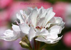 Pelargonie - Pelargonium - Pelargoner Priory Star