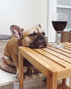 "327 Likes, 11 Comments - Certified Dog Lovers Club (@dogstified) on Instagram: ""More wine please!  @griffinfrenchie . . #puppies #puppylove #dogs #pets #dogoftheday #pitbull…"""