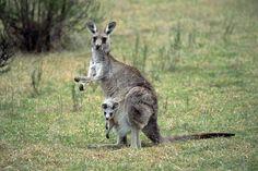 AKG0003 Eastern Grey Kangaroo With Joey.jpg 1,000×667 pixels
