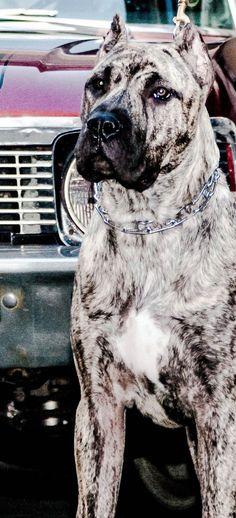 Conquistador K-9   Presa Canario Puppies For Sale