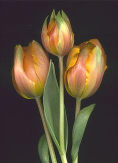 Tulipa - parrot type