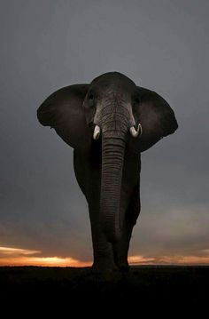Nature and Wildlife Photo Elephant, Image Elephant, Elephant Love, Elephant Pics, Bull Elephant, Hipster Photography, Wildlife Photography, Animal Photography, Wild Life