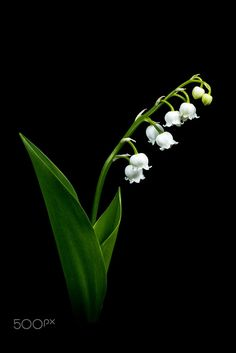 White lily of the valley on black background by Herbert Bräutigam on Flowers Nature, Green Flowers, Spring Flowers, White Flowers, Printable Flower Pictures, Black Background Photography, Lily Of The Valley Flowers, Fotografia Macro, Quotes About Photography