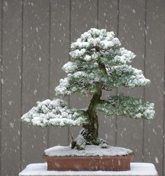 White Pine in the Snow. I really love the look of Bonsai trees. Please check out my website thanks. www.photopix.co.nz