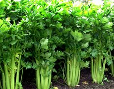 Celery Know How to grow Celery, Growing Celery in containers, care harvest, Growing Celery from seed Home Vegetable Garden, Fruit Garden, Herb Garden, Garden Pests, Organic Vegetables, Growing Vegetables, Growing Herbs, Organic Gardening, Gardening Tips