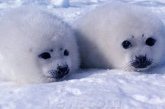 Baby Harp Seal Pup | Harp seal pups about a week old; Gulf of St. Lawrence, Canada. Downs ...