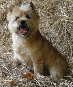 Cairn Terrier. Reportedly one of the better terriers with kids.