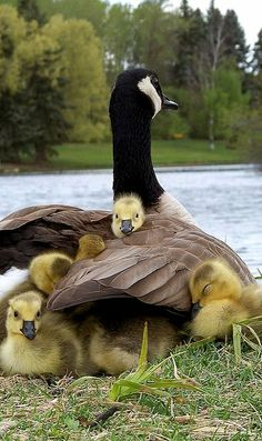 Mom and ducklings. (KO) Mama duck keeps her babies warm and safe. I'll bet it's toasty under her soft, strong wings. What a good little mama! Cute Baby Animals, Animals And Pets, Funny Animals, Wild Animals, Animal Babies, Beautiful Birds, Animals Beautiful, Beautiful Family, Beautiful Ocean