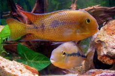 Freshwater Aquarium, Aquarium Fish, Central America, South America, Beautiful Tropical Fish, Fish Room, Undersea World, Fish Tanks, Cichlids