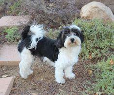 havanese puppy cuts - Google Search