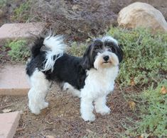 What is a Havanese puppy cut?