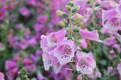 """13 Common Flowers that are Poisonous | Toxic Flowers"" (quote) via balconygardenweb.com"