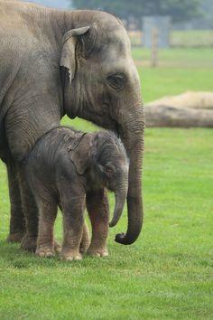 Asian Elephant calf at Whipsnade Zoo