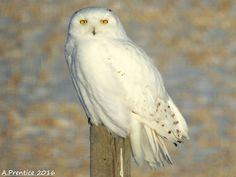 Beautiful Snowy Owl  Alberta, Canada  Dec. 13/16