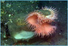 venus fly trap anemone | Venus Flytrap Anemone (Actinoscyphia)