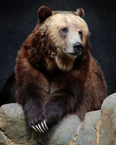 "Despite its ""large"" reputation, the grizzly #bear is one the smallest of the brown bear subspecies."