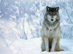 wolf in the snow....