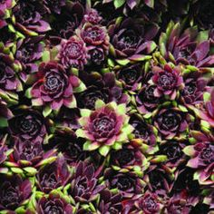 Sempervivum 'Arno'  Hen-and-chicks