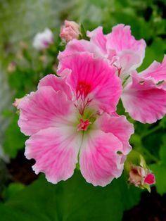 Martha Washington Geranium, Pelargonium 'Birthday Girl'.