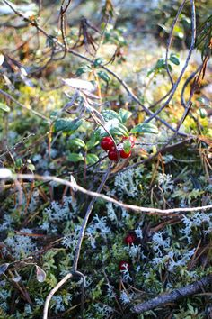 Frozen lingonberries. #levi #levilapland #lapland #winter