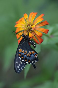 black swallowtail on zinnia