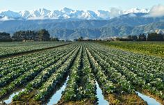"""Field of Cabbages"" Market garden in Levin, Horowhenua with the snow covered Tararuas as a stunning backdrop."
