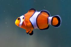 Ocellaris Clownfish Vol fan! Football time is coming!
