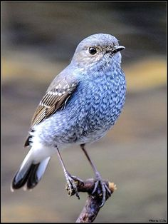 紅尾水鴝 Plumbeous Redstart (Phoenicurus auroreus), female, photo by Chu Chik Ching
