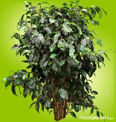 Indoor Trees, Growing Plants Indoors, Ficus Tree, Houseplant, Plant Care, Trees To Plant, Fig, Ficus, Tree Planting