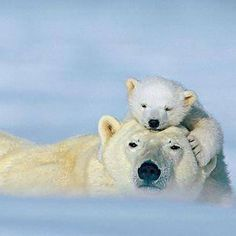 Polar bears moms may nurse their cubs for as long as three years. (Photo by Norbert Rosing/National Geographic Stock/National Geographic) Pictures Of Polar Bears, Bear Photos, Love Photos, Animal Pictures, Animals Images, Animals And Pets, Baby Animals, Funny Animals, Cute Animals