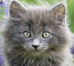 Norwegian Forest Kitten Portrait