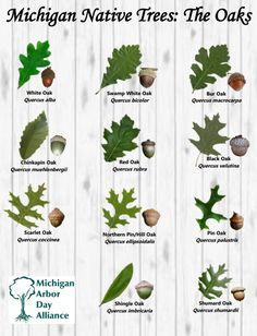 Quercus: The Michigan Oaks I love identifying trees in my garden. I love that there are so many types of oak! Remember to always cut your oak trees in late autumn or early spring to prevent oak wilting from spreading! art design landspacing to plant Oak Leaf Identification, Trees And Shrubs, Trees To Plant, Michigan Trees, Tree Leaves, Tree Tree, Oak Leaves, White Oak Tree, Baumgarten