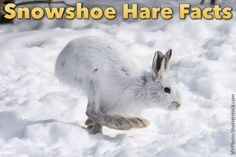 The Snowshoe Hare Tan Caddis. A tan caddis pattern with a snowshoe hare wing.so named because it is different from other snowshoe caddis patterns in th. Arctic Hare, Arctic Animals, List Of Animals, Cute Animals, Beautiful Creatures, Animals Beautiful, Snowshoe Hare, Arctic Landscape, Animal Magic