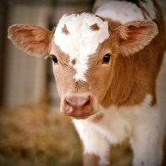 Why can't they stay this small and So stinkin' cute! I could love a cow, if it looked like this one!