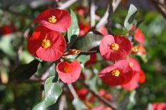 Gerolds Spurge, Thornless Crown of Thorns,Euphorbia geroldii, copyright © almostedenplants.com