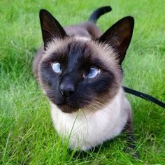 Most current No Cost siamese cats cross eyed Strategies Siamese pet cats should be better known for their smooth, wind resistant body, foamy applications in addition Cat Pictures For Kids, Funny Cat Pictures, Cat Images Hd, Animals Images, Cross Eyed Cat, Siamese Kittens, Kitty Cats, Cross Pictures, Cat Attack