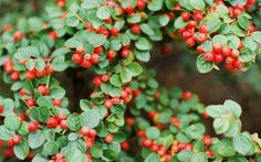 The colourful berries of Cotoneaster Horizontalis are a favourite with thrushes, finches, blackbirds and waxwings #wildlifegardening