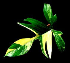 Philodendron 'Florida Beauty' #houseplants,  Care tips: http://www.houseplant411.com/houseplant/philodendron-how-to-grow-care-tips