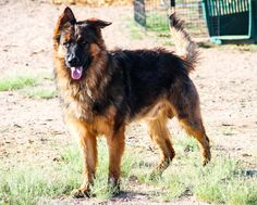 www.elitek-9.com   #germanshepherd #gsd #protectiondogs #exotics #luxurylife #czechshepherd Executive Protection, Working Dogs, German Shepherds, Luxury Life, Dog Training, Puppies, Animals, Instagram, Luxury Living