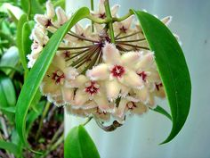 HOYA BUOTII, the Frosted Hoya, from the Philippines