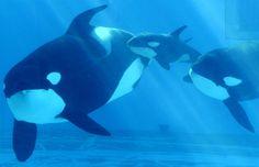 ママと一緒に元気な泳ぎ 名古屋の赤ちゃんシャチ - MSN産経フォト